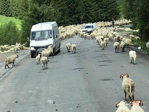 Schafherde kreuzt die Hauptstraße durch die Karparten